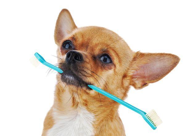 Чихуахуа нуждается в регулярной чистке зубов