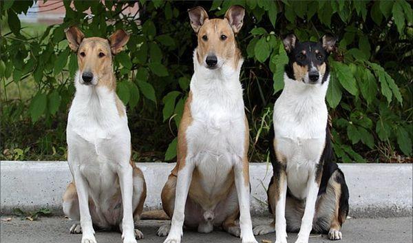 Гладкошерстная британская колли – собака очень изящная