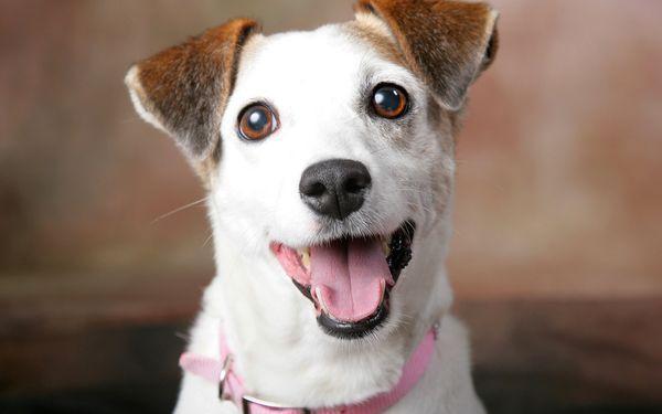 Джек-рассел-терьер – отличная охотничья порода собак