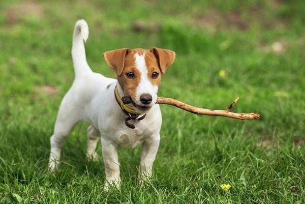 Джек-рассел-терьер - это очень преданные собаки