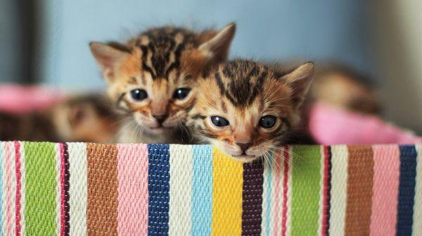 Бенгальский кот нуждается в витаминных добавках