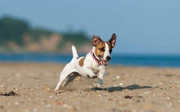 Джек-рассел-терьер - самая активная собака в мире