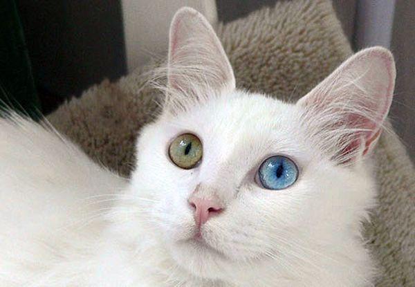 Купают ангорскую кошку 5–6 раз в год