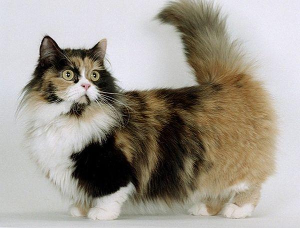 Кошка Манчкин нуждается в регулярной вакцинации