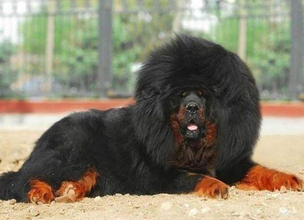 Тибетский мастиф имеет вес приблизительно 60 кг