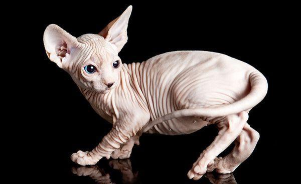 Предположительно, родина лысых кошек – Египет