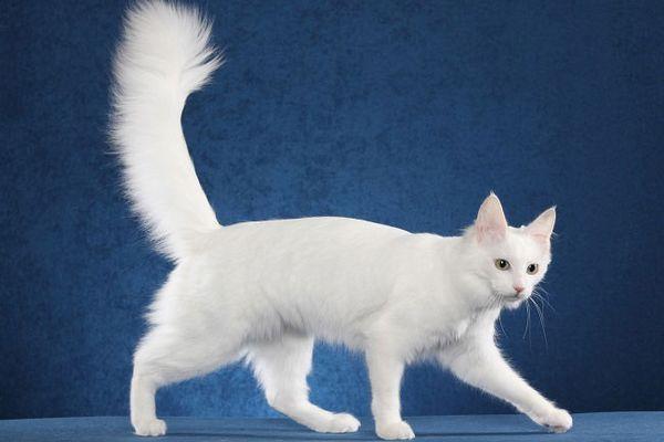 Ангорская кошка имеет крепкое здоровье от природы