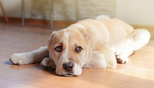 Шерсть собаки нужно периодически вычесывать