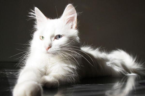 Традиционным является белый окрас ангорской кошки