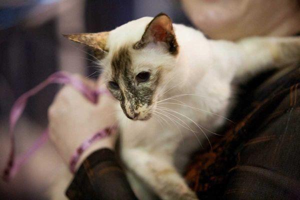 У кошки клиновидная форма головы