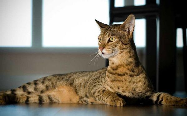 Взрослые кошки могут достигнуть в весе 5 кг, а самцы – до 7 кг