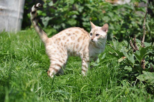 Бенгальская кошка не слишком требовательна в уходе