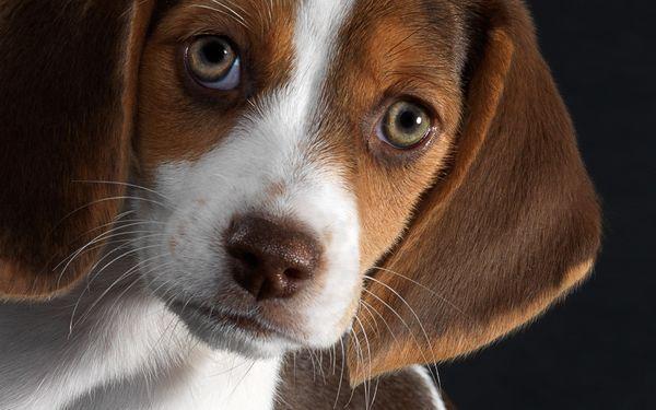 Бигль – отличная гончая порода собак