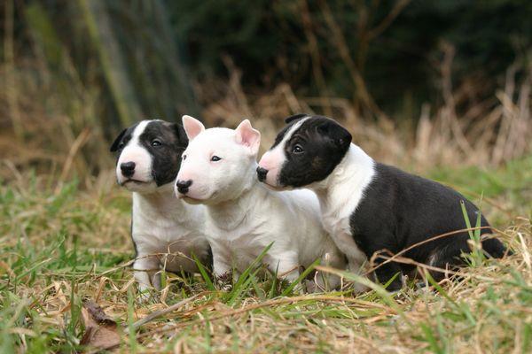 Нельзя покупать щенка бультерьера без документов