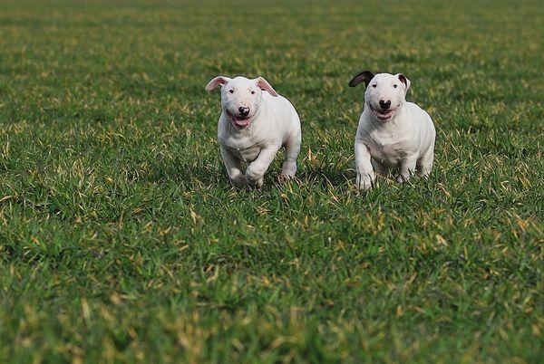 Стоимость породистого щенка 17–23 тыс руб