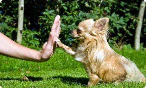При правильном воспитании собака станет послушной