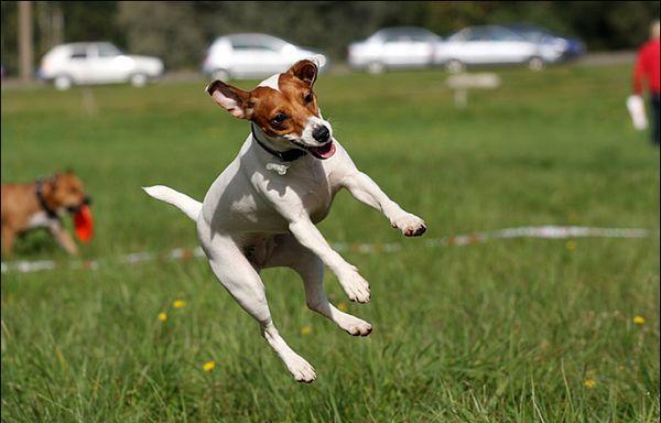 Джек-рассел очень энергичный пес