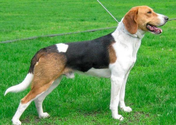 Порода собаки эстонская гончая