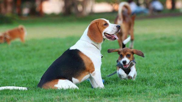 Порода собаки бигль