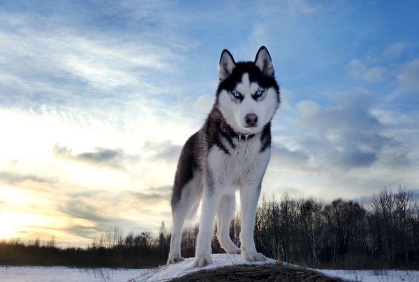 Сибирский хаски – это знаменитый ездовой пес