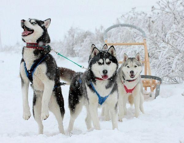 Лайка – одна из первых собак, подружившихся с человеком
