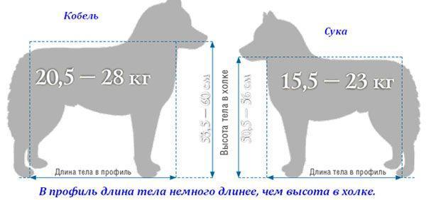 Средние размеры кобеля и суки хаски