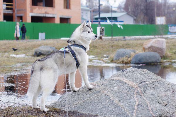 Шлейку для пса можно сшить самостоятельно
