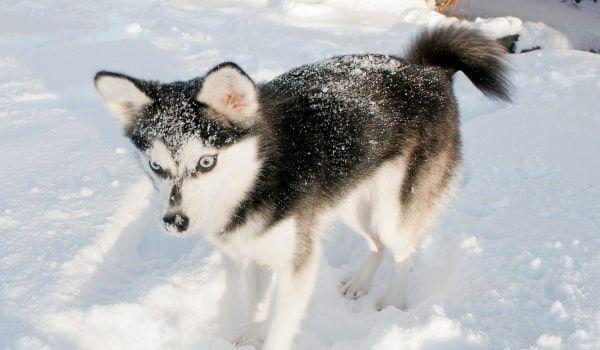 Хаски – ездовые собаки, поэтому больше любят бегать