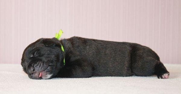 Новорожденный малыш кане-корсо
