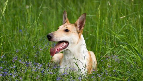 Колли короткошерстный – активный пес