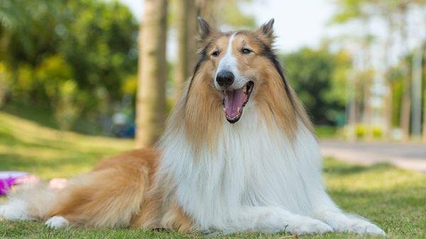 Колли – это удивительно грациозная и красивая собака