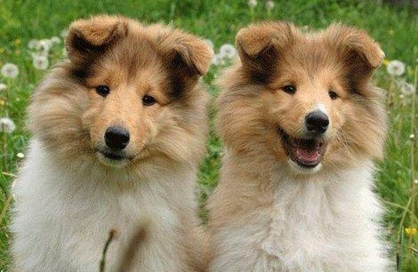 сколько стоит собака колли щенок