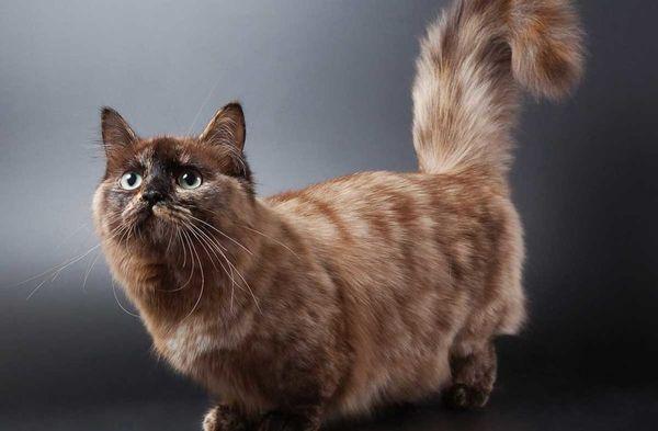 Кошки манчкин имеют широкую голову средних размеров