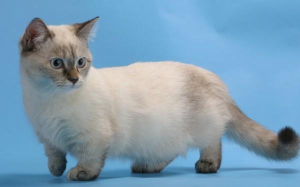 Котята манчкин с детства очень чистоплотные