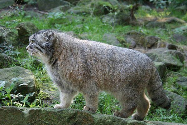 У манула есть и другое имя – палаcсов кот