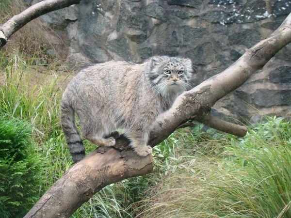 Для кота манула вес считается нормой в пределах 5 кг