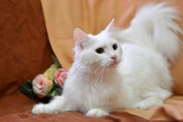 Ангорская кошка очень преданна владельцу