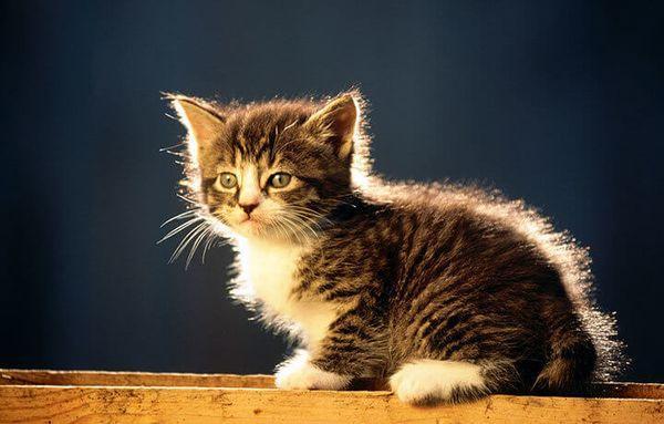 Котенок курильского бобтейла