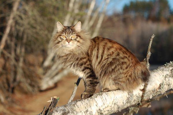 Бобтейл – это домашняя кошка