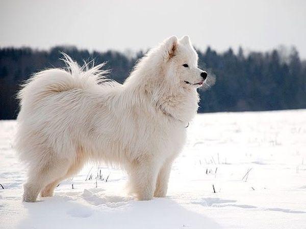 Самоед - большая собака с густой белой шерстью