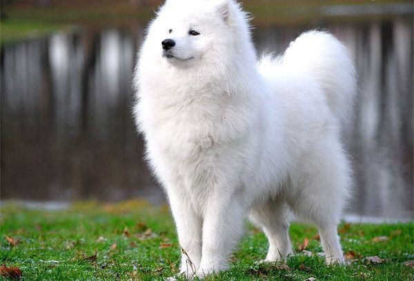 Популярная порода собаки самоед