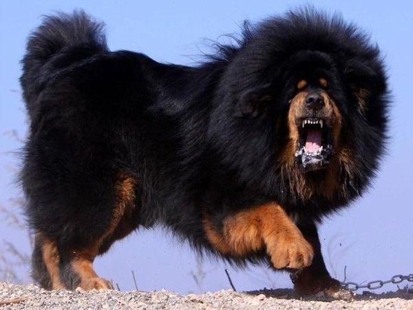 Tibetan Mastiff - это самая дорогая порода в мире