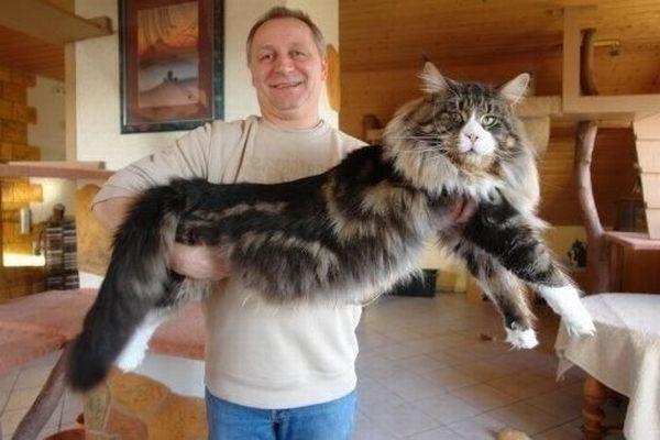 кот мейн кун фото размер