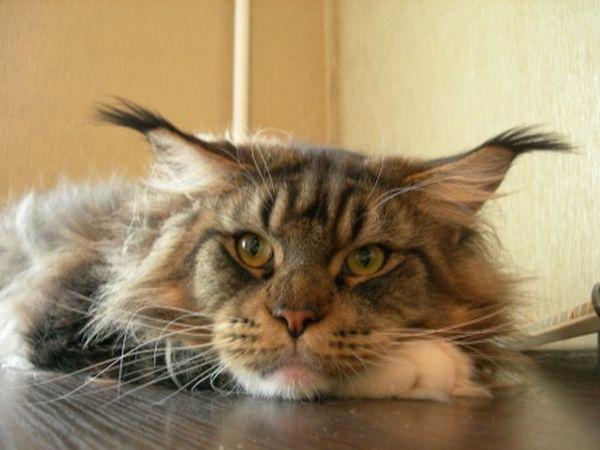 Ласковые пушистые гиганты – порода кошек мейн-кун