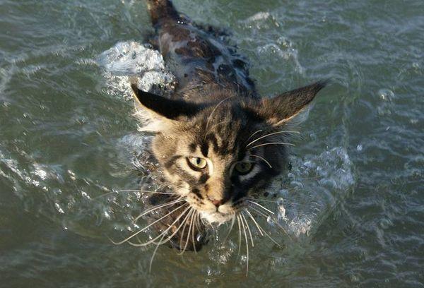 Данная порода кошек любит воду