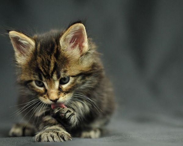 Стоимость котенка может колебаться от 10 до 80 тыс руб