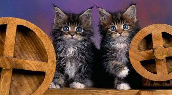 Чистокровные котята мейн-кун продаются в элитных питомниках