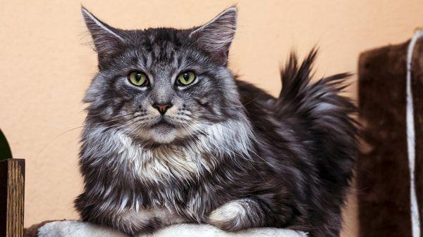 Взрослый кот породы мейн-кун
