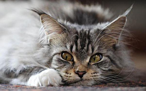 Витамины для мейн-кунов лучше выбирать по рекомендации ветеринара