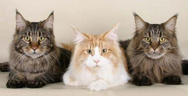 Сколько стоит котенок породы мейн кун